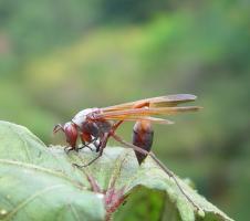 Predatory wasp © A. M. Varela