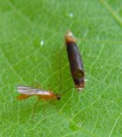Parasitic wasp emerged from caterpillar. Note emergence hole in mummified caterpillar © A. M. Varela