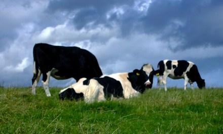 Cara Membuat Pakan Ternak Sapi Fermentasi Untuk Daging Berkualitas