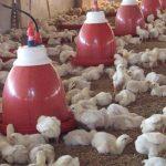 8 Tips Memulai Bisnis Ternak Ayam untuk Pemula