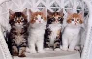 Cele mai frumoase pisici din lume la Magnificats - Expoziţia internaţională de feline!