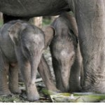 An Indian Elephant has made a Historic Record by giving birth to Twin Calves