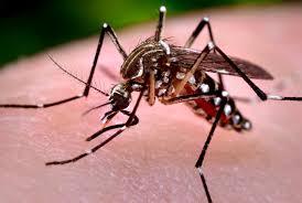 Dengue Mosquito-Aedes Aegypti