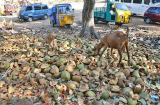 Tender Coconut Shells