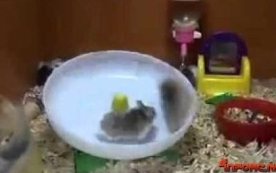 Este viernes tenemos un vídeo de hamsters