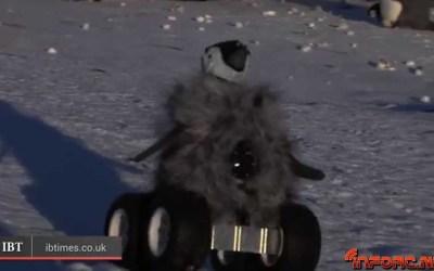 Video de los Viernes: Estudiando de cerca a los pingüinos...¡con un pingüino RC!