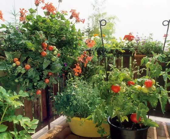 tomates en el balcon