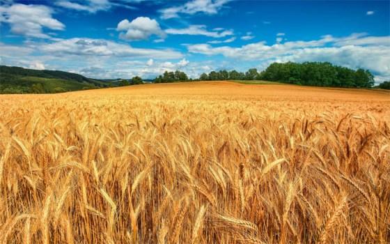 campo-de-trigo-bajo-el-cielo-azul