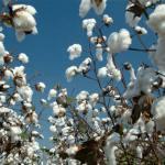 How to start cotton enterprise in nigeria