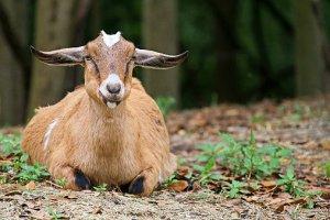 Goat looking at camera, attentive.
