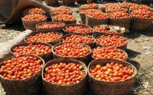 tomatoes-483x300