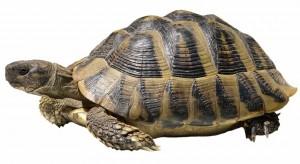 Hermann's tortoise shutterstock_78129739