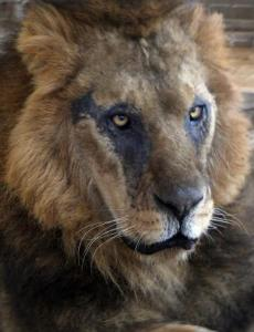 Lion-escapes-park-mauls-man-in-Nairobi