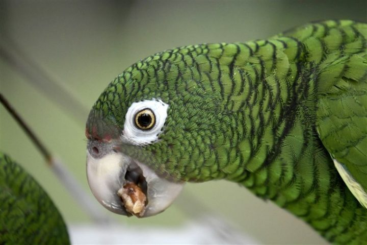 1 4 - Police arrest parrot who alerted drug dealers about their coming