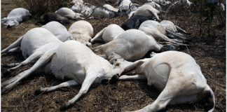 Thunder Strikes Cows dead in Ondo