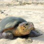 Un vídeo difunde en redes sociales cómo actuar si aparece una tortuga en la playa