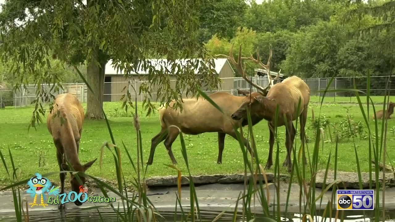 EdZooCation: Elks