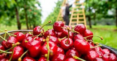 Wer Kirschen auf Vorrat pflückt, sollte die Stiele unbedingt dran lassen. Sonst läuft der Fruchtsaft aus. Foto: Klaus-Dietmar Gabbert/dpa-tmn