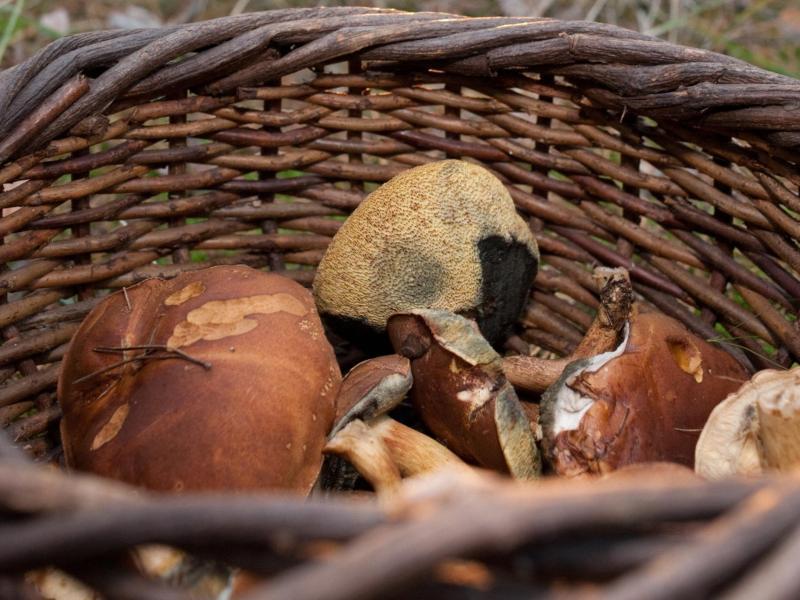 Braunkappen gehören bei deutschen Pilzsammlern zu den beliebtesten Pilzarten. Foto: Klaus-Dietmar Gabbert/dpa-tmn