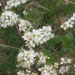 flori de porumbar