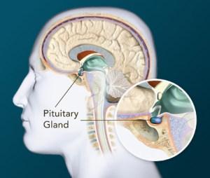 glanda pituitara