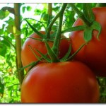pomodori-rossi