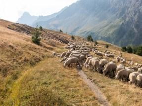Sheep again!
