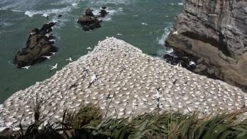 Nesting gannets