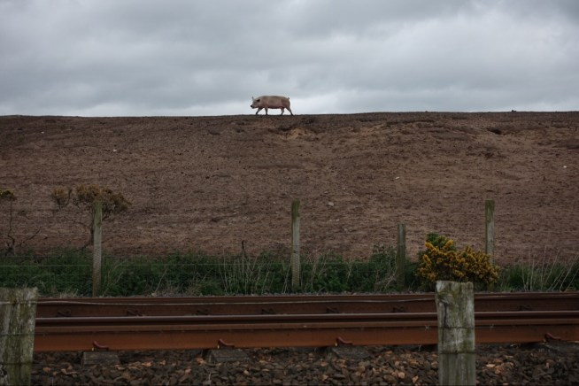 Pig on a hill, by the train track, by the bike path.