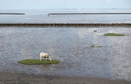 Sheep on an island of salt water grass.