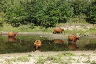 The cattle think they are water buffalo.