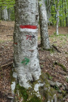 Old beech tree with route marker
