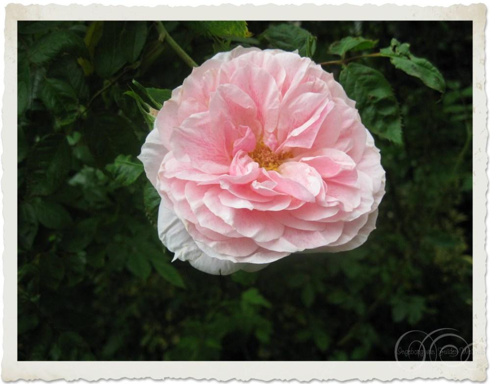Pink rose 'Kir Royal'