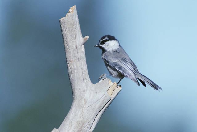 mountain chickadee by Dave Menke