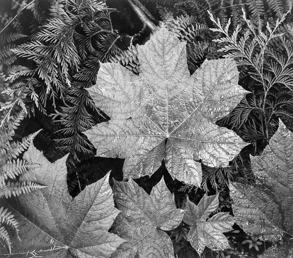 """Leaf in Glacier National Park"" by Ansel Adams"