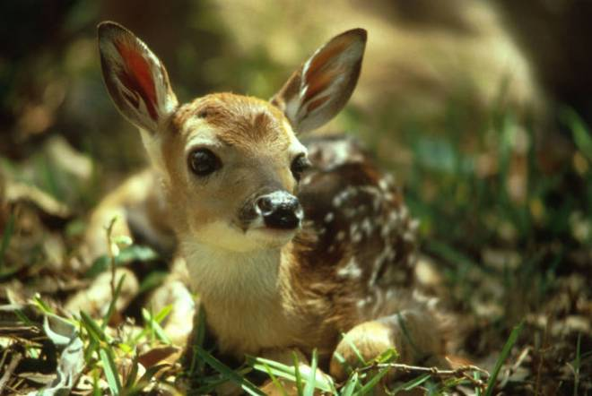 white-tailed fawn by Tom Stehn