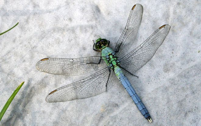 eastern pondhawk dragonfly by R. A. Nonenmacher