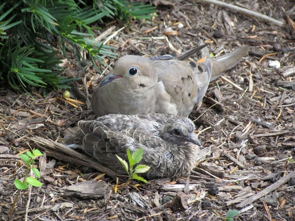 mourning dove family by Watching Seasons