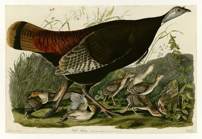 """Wild Turkey"" by John James Audubon"