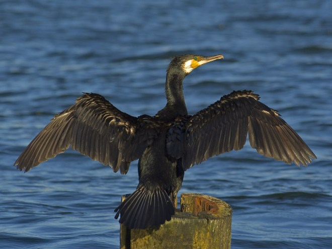 SławekStaszczuk.cormorant