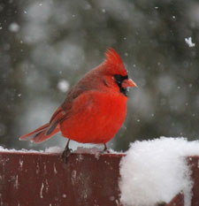 northern cardinal by Barbara Rodgers