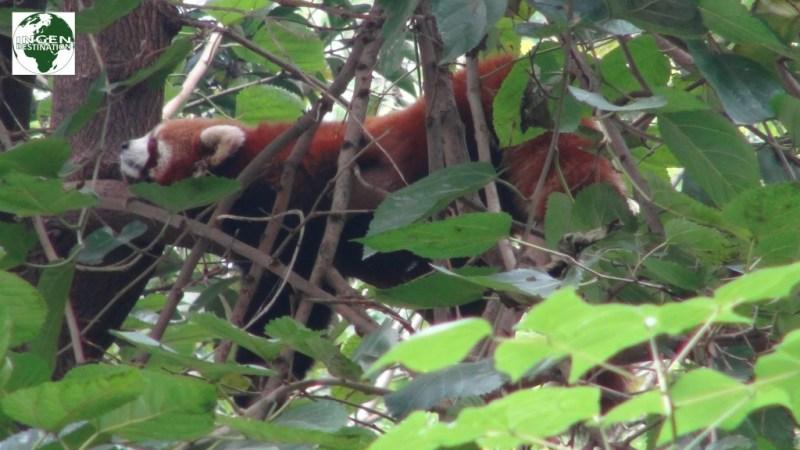 Dovne røde pandaer, der daser efter morgenmaden.