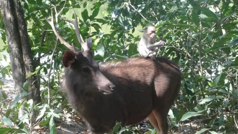 Hjort og abe, et umage par