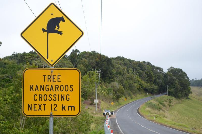 Træ kænguruerne er de mest sjældne af alle kænguru arterne.