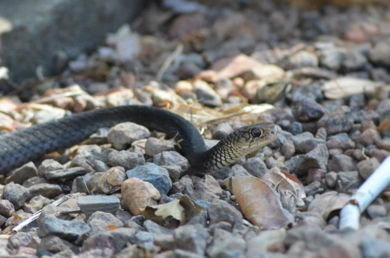 Denne slange trådte Erik næsten på den ene dag, da han trådte ud af medarbejder huset.