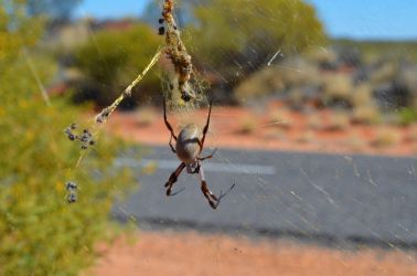 Australien, strand, beach, afslapning, spider, edderkop