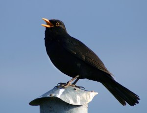 A male blackbird singing. Photograph by Malene Thyssen.