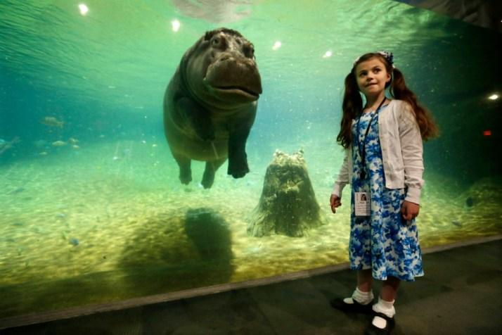 Genny, a 4,000 pound hippopotamus, at the Adventure Aquarium in Camden, New Jersey, US.