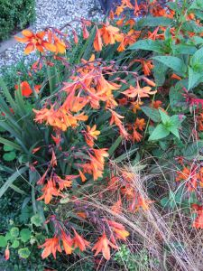 Crocosmia × crocosmiiflora 'Star of the East' with a few orange Tropaeolum majus (nasturtiums).