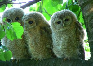 Tawny owl chicks. Photo by Artur Mikołajewski.